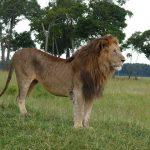 קניה: אריות זכרים שנצפו מקיימים יחסי מין למדו מהתיירים ההומואים